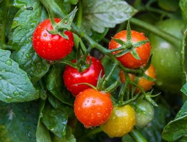 comment-bien-planter-ses-tomates