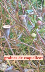 graines coquelicots