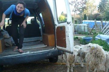 Des moutons curieux