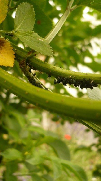 colonie de pucerons