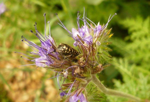 insecte à pois sur phacélie