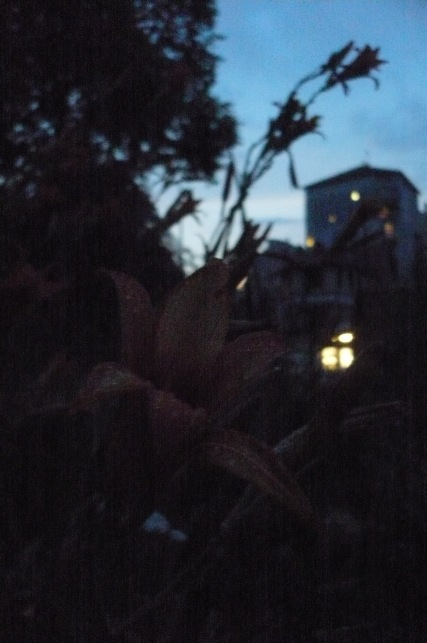les lys dans le soir