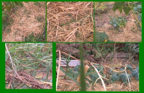 Les petites plantes vertes ne sont que la partie émergée du chiendent...