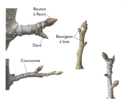 8-2-Organes-pommiers