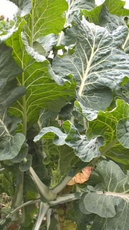 Chou fourrager : on récolte les feuilles au fur et à mesure de leur croissance sur la base qui fait penser à un arbre....