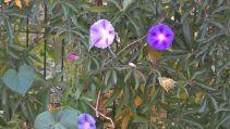 Ipomées et fleurs de la passion se mêlent et s'entremêlent
