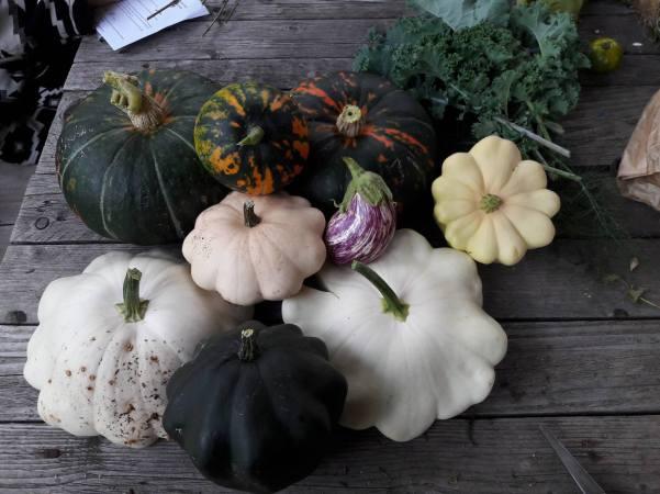 De gauche à droite et de haut en bas : famille potiron à peau verte, famille pâtissons, famille buttercup. Au milieu une petite aubergine zébrée et en haut à droite, des feuilles de chou kale.