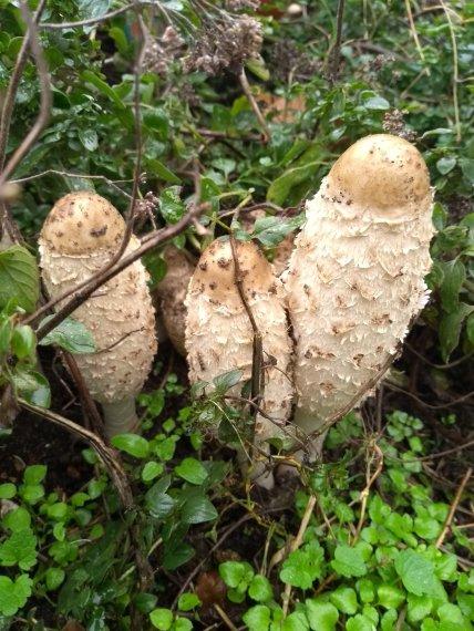 champignons impudiques
