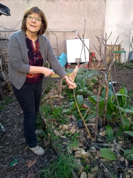 semis de fèves en pleine terre